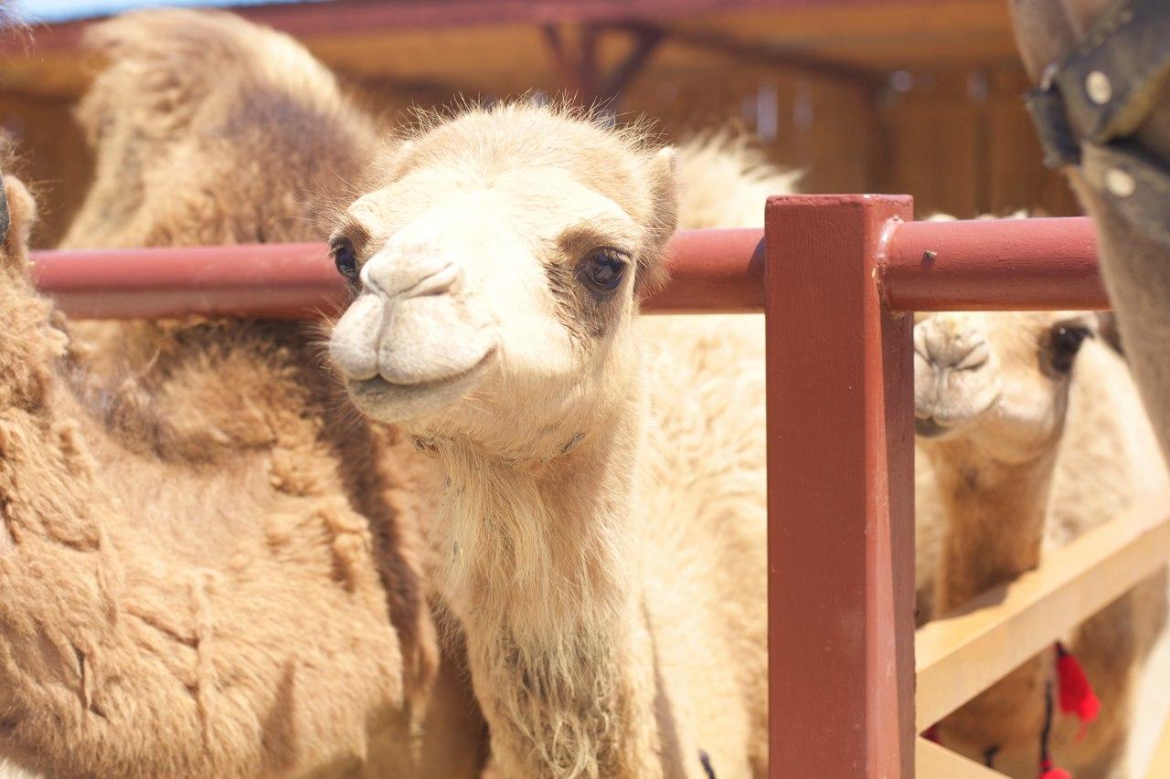 Ферма верблюдов